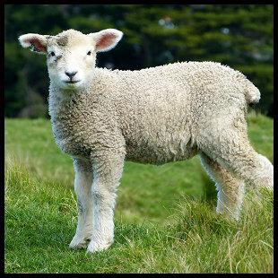 Lambs Lambs Lambs