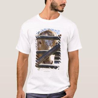 T-shirt Bétail suédois de montagne (Skansen)