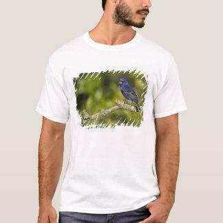 T-shirt Gros-bec bleu, caeulea de Passerina, courbure