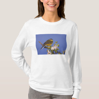 T-shirt Hochequeue jaune, flava de Motacilla, mâle sur la