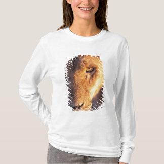 T-shirt L'Afrique, Botswana, delta d'Okavango. Fin de lion