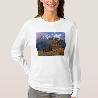 T-shirt Les Etats-Unis, Wyoming, Teton grand NP. Un cèdre