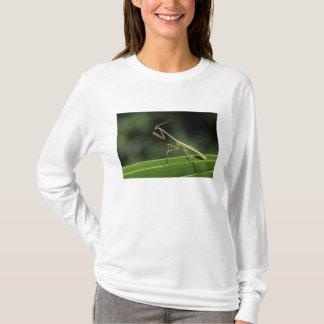 T-shirt Mantid, Mantidae, adulte sur la fronde de paume,