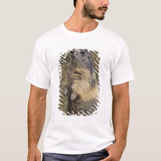T-shirt Marmot alpin, marmota de Marmota, position adulte