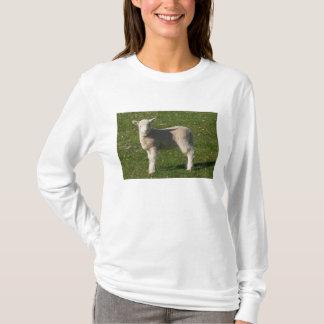 T-shirt Nouvel agneau, près de Dunedin, île du sud,
