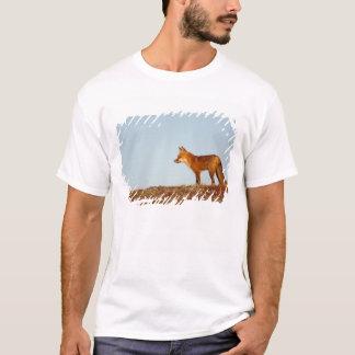 T-shirt renard rouge, vulpes de Vulpes, le long du nord