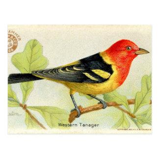 Tanager occidental carte postale