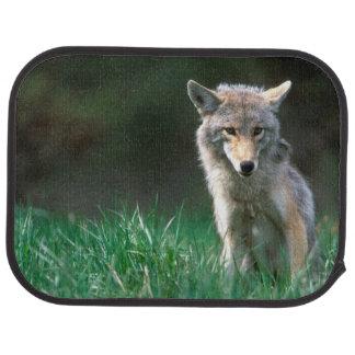 Tapis De Sol Le Canada, Colombie-Britannique, coyote (latrans