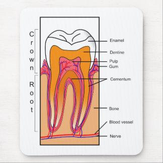 Tapis De Souris Diagramme en coupe d'une dent humaine