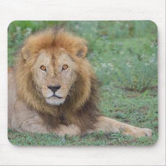 Tapis De Souris Lion masculin se couchant