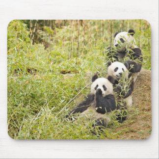 Tapis De Souris Trois panda mâchant CUB Mousepad
