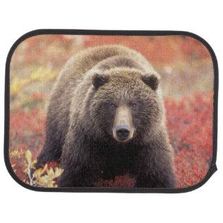 Tapis De Voiture Les Etats-Unis, Alaska, Denali NP, ours gris