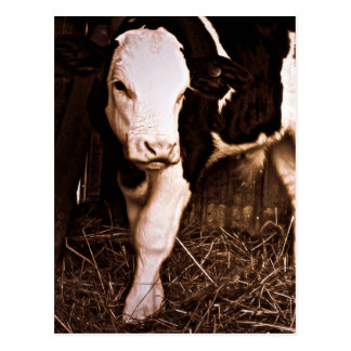 Taureau jeune du simmenthal X Holstein Carte Postale