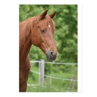 Tête de cheval brun cartes postales