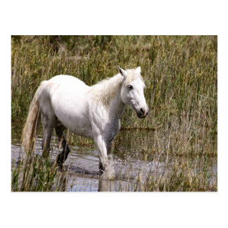The Wild Horse of Camargues Carte Postale