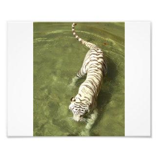 Tigre blanc photos sur toile