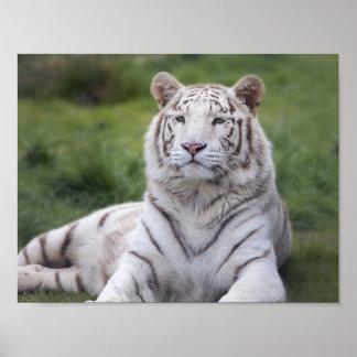Tigre blanc attentif affiche