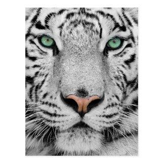 Tigre blanc cartes postales