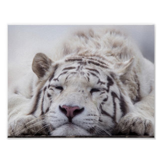 Tigre blanc de sommeil posters
