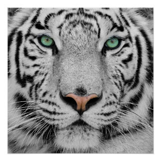 Tigre blanc posters