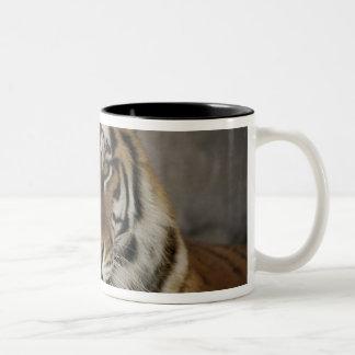 tigre captif, sanctuaire de zoo de ville de mug bicolore