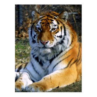 Tigre Carte Postale