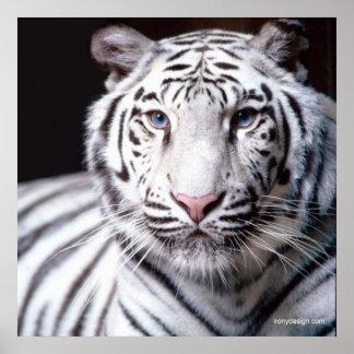 Tigre de Bengale blanc Poster