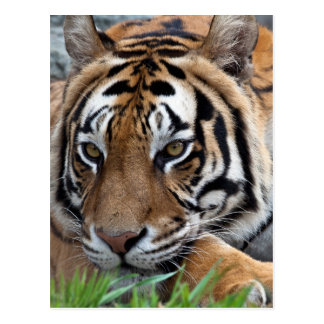 Tigre de Bengale dans l'herbe Carte Postale