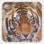Tigre de Bengale, Panthera le Tigre Autocollant Carré