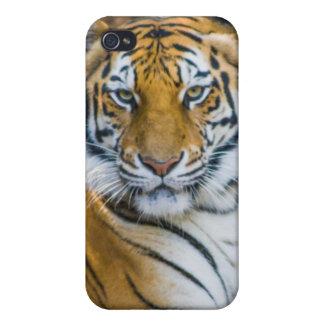 Tigre de Bengale (Panthera Tigre Tigre) Étui iPhone 4