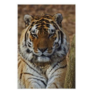 Tigre de Bengale, Panthera zoo du Tigre, Louisvill Posters