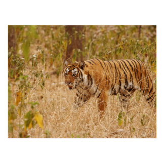 Tigre de Bengale royal marchant autour du buisson, Carte Postale