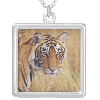 Tigre de Bengale royal observant du Collier
