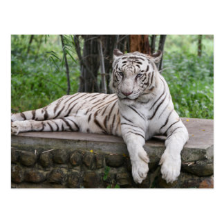 Tigre de blanc du Bengale Carte Postale