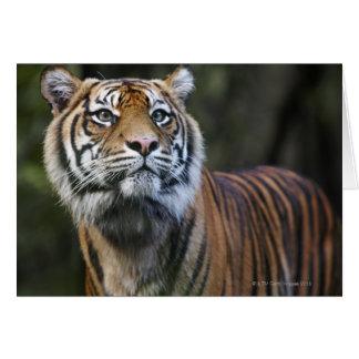 Tigre de Sumatran (sumatrae du Tigre de Panthera) Cartes