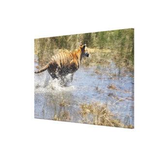Tigre (Panthera le Tigre) fonctionnant par l'eau Toiles
