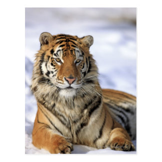 Tigre sibérien, altaica du Tigre de Panthera, Asie Carte Postale