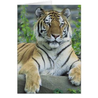 Tigre sibérien carte de vœux