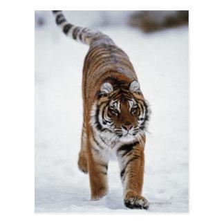 Tigre sibérien dans la neige carte postale