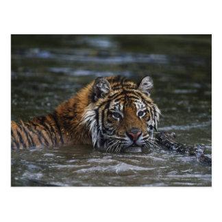 Tigre sibérien dans l'eau carte postale