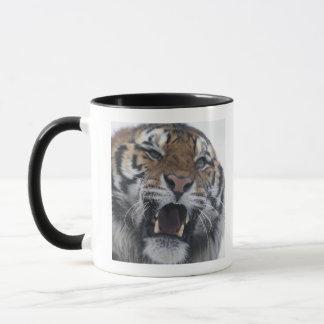 Tigre sibérien grondant tasses