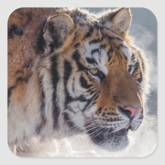 Tigre un matin froid sticker carré