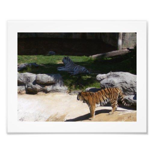 Tigres blancs et d'or photo