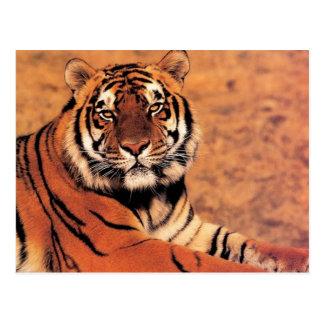Tigres dans les photos sauvages sur des cartes, carte postale