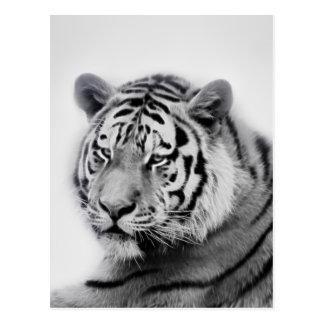 Tigres en noir et blanc carte postale