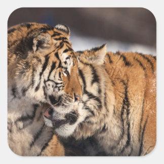 Tigres montrant l'affection sticker carré