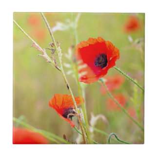 Tir tendre des pavots rouges sur le champ petit carreau carré