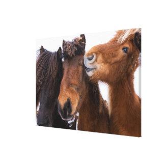 Toile Amis islandais de cheval, Islande