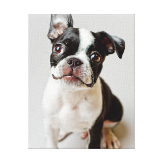 Toile Boston Terrier