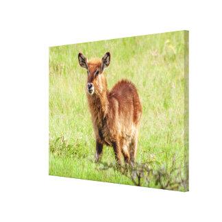 Toile De Getty jeune Brown antilope Waterbuck des images